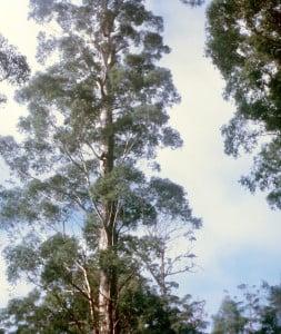 The Gloucester Tree at Pemberton, Western Australia