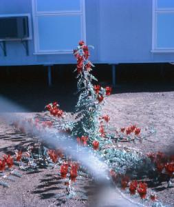 A Sturt desert pea in a front yard in Halls Creek, Western Australia