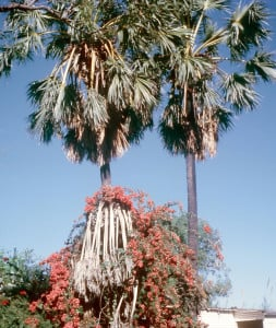 Palms in the grounds of Mrs. McDaniel's 'Shell House' in Broome, Western Australia