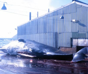 A sperm whale lies prone on the slipway having been towed from the water to be flensed